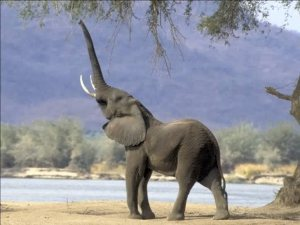 Happy elephant! (not my picture)